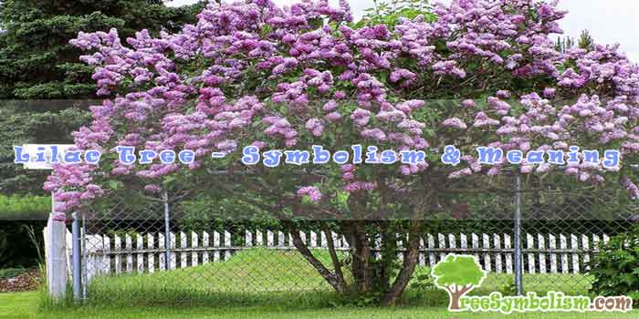 Lilac Tree – Symbolism & Meaning
