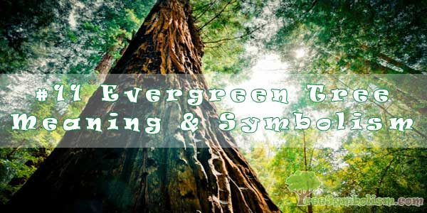 #11 Evergreen Tree - Meaning & Symbolism