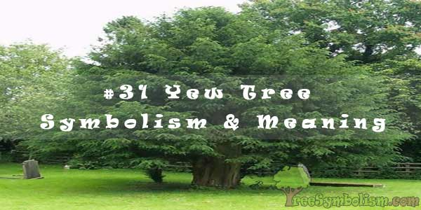 #31 Yew Tree - Symbolism & Meaning