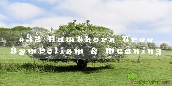 #32 Hawthorn Tree Symbolism & Meaning