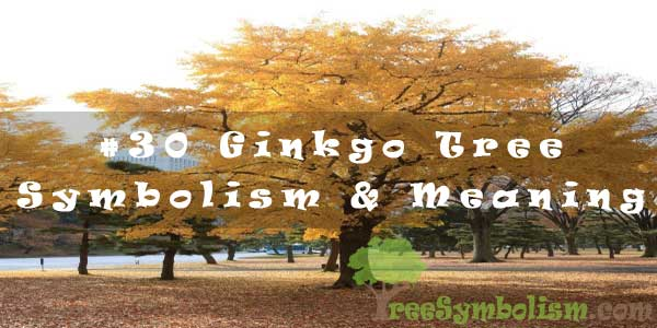 #30 Ginkgo Tree - Symbolism & Meaning