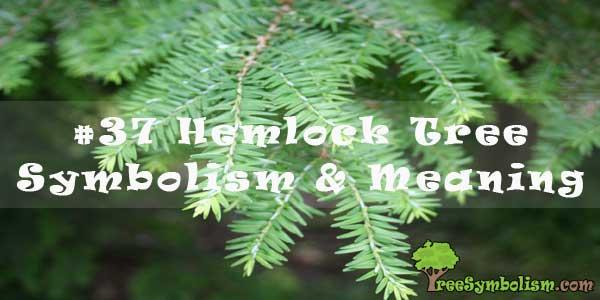 #37 Hemlock Tree - Symbolism & Meaning