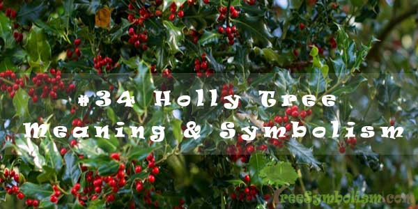 #34 Holly Tree - Meaning & Symbolism