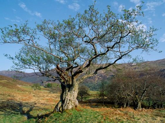 #51 Alder Tree Symbolism & Meaning