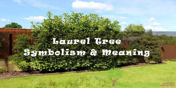 #46 Laurel Tree - Symbolism & Meaning