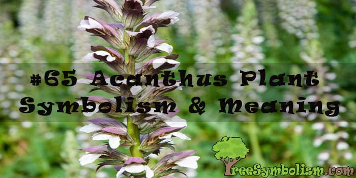 #65 Acanthus Plant - Symbolism & Meaning