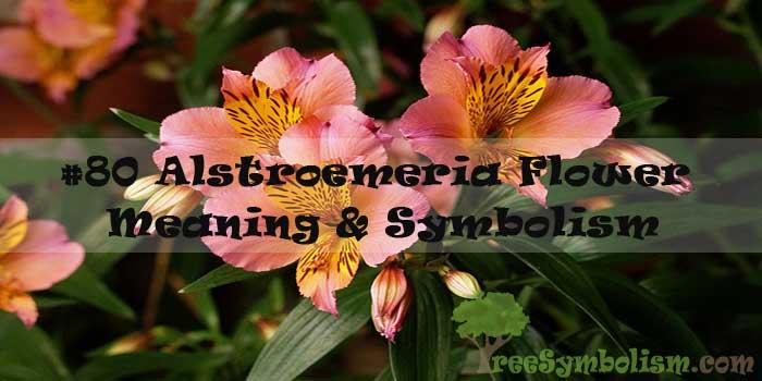 #80 Alstroemeria Flower : Meaning & Symbolism
