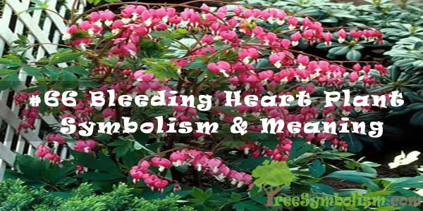 #66 Bleeding Heart Plant - Symbolism & Meaning