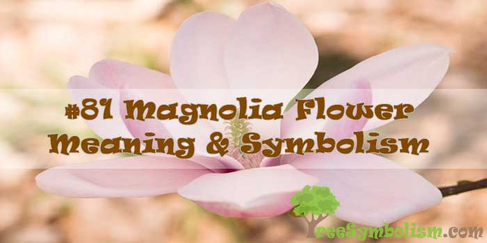 #81 Magnolia Flower - Meaning & Symbolism