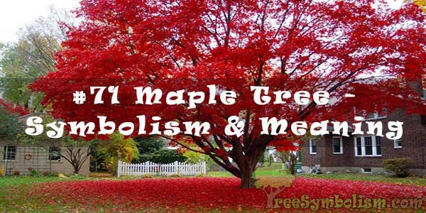 #71 Maple Tree - Symbolism & Meaning
