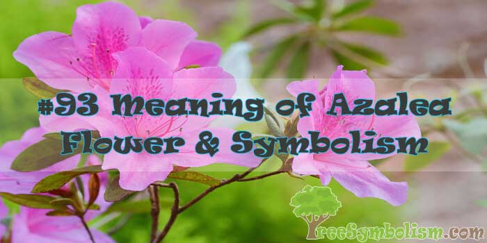 #93 Meaning of Azalea Flower & Symbolism