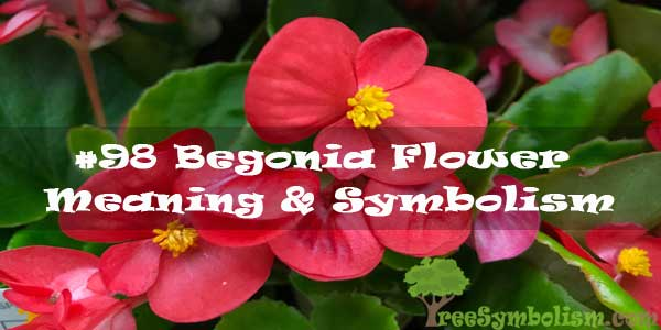 #98 Begonia Flower : Meaning & Symbolism