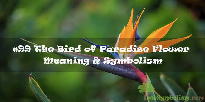 #99 The Bird of Paradise Flower - Meaning & Symbolism