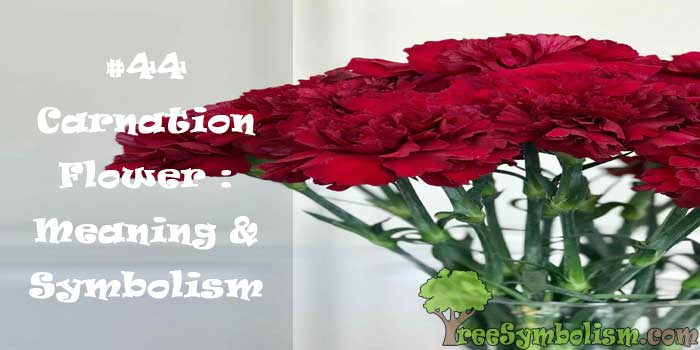 #44 Carnation Flower : Meaning & Symbolism