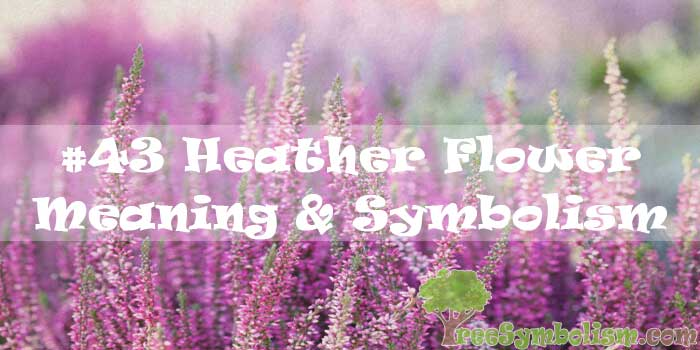 #43 Heather Flower : Meaning & Symbolism