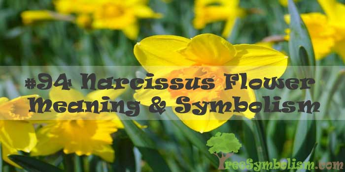 #94 Narcissus Flower : Meaning & Symbolism
