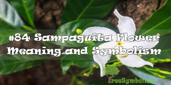 #84 Sampaguita Flower : Meaning & Symbolism
