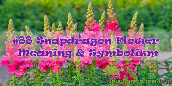 #88 Snapdragon Flower : Meaning & Symbolism