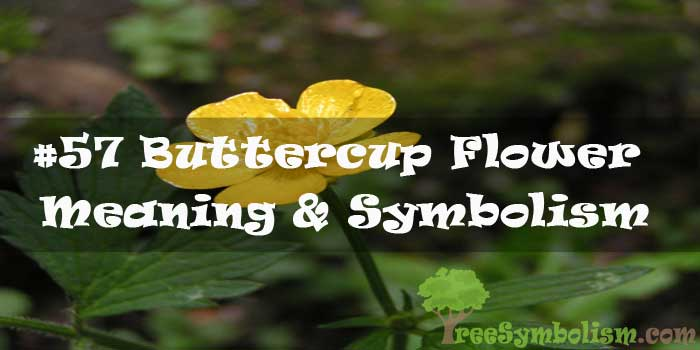 #57 Buttercup Flower : Meaning & Symbolism