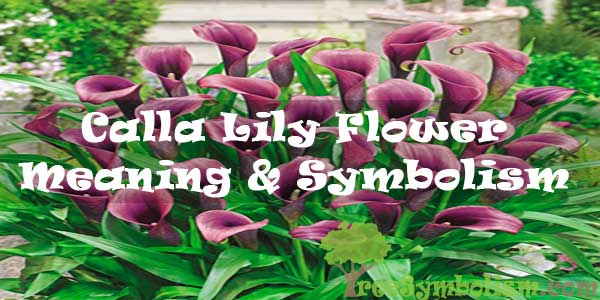 Calla Lily Flower - Meaning & Symbolism