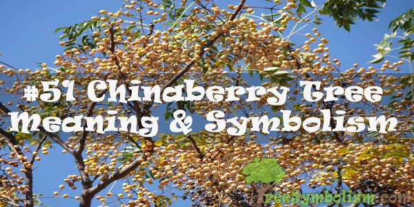 #51 Chinaberry Tree - Meaning & Symbolism