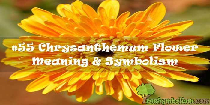 #55 Chrysanthemum Flower - Meaning & Symbolism