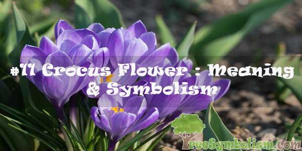 #11 Crocus Flower : Meaning & Symbolism