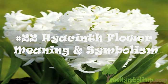 #22 Hyacinth Flower : Meaning & Symbolism