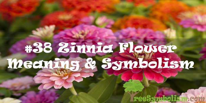 #38 Zinnia Flower - Meaning & Symbolism