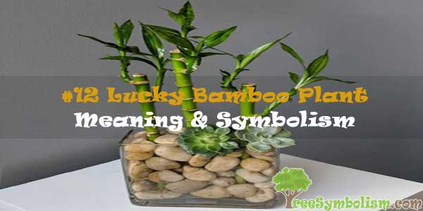 #12 Lucky Bamboo Plant - Meaning & Symbolism
