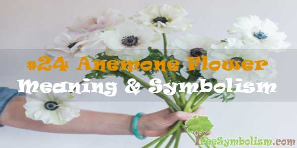 #24 Anemone Flower : Meaning & Symbolism
