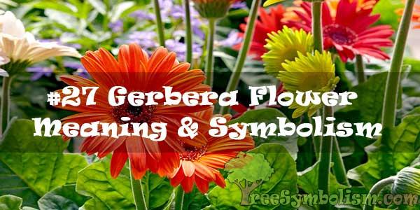 #27 Gerbera Flower : Meaning & Symbolism