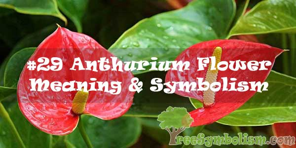 #29 Anthurium Flower : Meaning & Symbolism