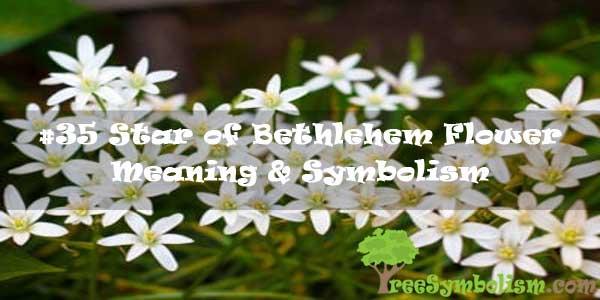 #35 Star of Bethlehem Flower - Meaning & Symbolism