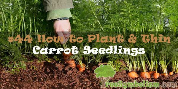 #44 How to Plant & Thin Carrot Seedlings