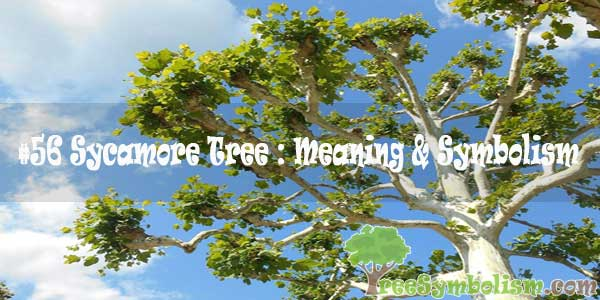 #56 Sycamore Tree : Meaning & Symbolism