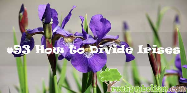 #93 How to Divide Irises