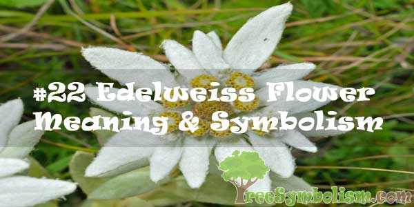 #22 Edelweiss Flower : Meaning & Symbolism