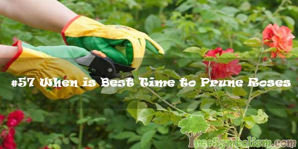 #57 When is Best Time to Prune Roses