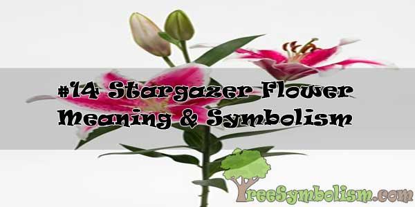 #14 Stargazer Flower : Meaning & Symbolism
