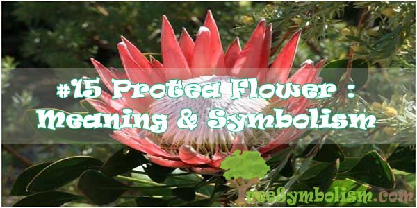 #15 Protea Flower : Meaning & Symbolism