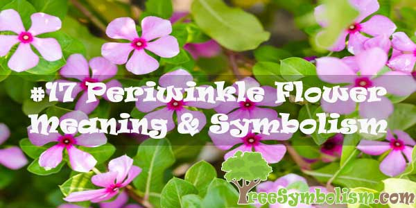 #17 Periwinkle Flower : Meaning & Symbolism