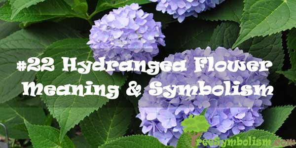 #22 Hydrangea Flower : Meaning & Symbolism