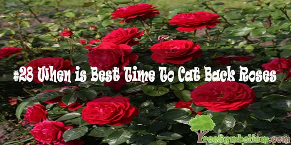 #28 When is Best Time To Cat Back Roses [2020]