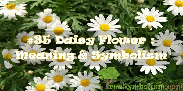 #35 Daisy Flower : Meaning & Symbolism