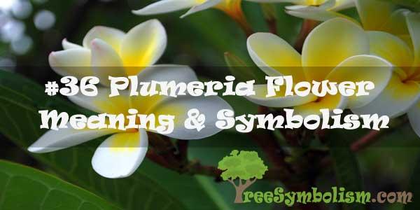 #36 Plumeria Flower : Meaning & Symbolism