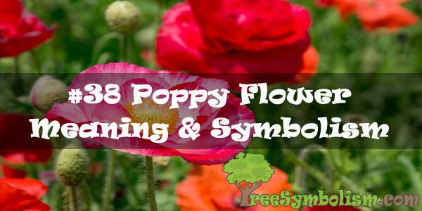 #38 Poppy Flower : Meaning & Symbolism