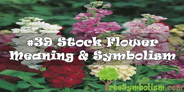 #39 Stock Flower : Meaning & Symbolism