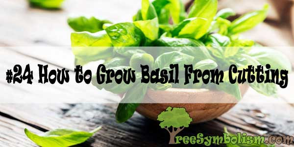 #24 How to Grow Basil From Cutting