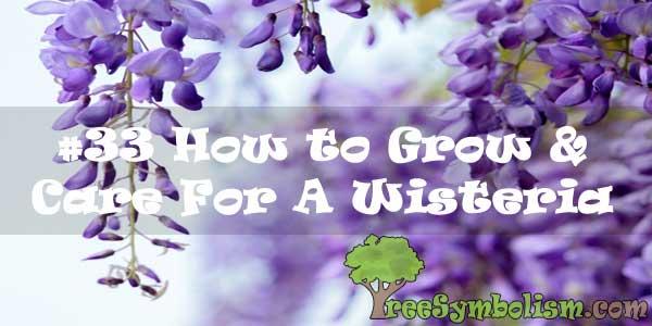 33 How To Grow Care For A Wisteria 2020